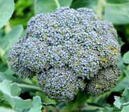 Growing head of broccoli. Live head of broccoli growing in a field Royalty Free Stock Photography
