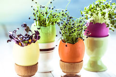 Growing healthy sprouts in Easter egg shell, dieting concept Stock Images