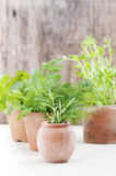Growing herb in small terracotta pots Royalty Free Stock Image
