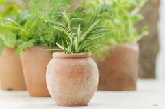 Growing herb in small terracotta pots Stock Images