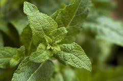 Growing herbs Stock Photos