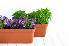 Growing herbs and flowers in planters in a kitchen garden. Flower pots with basil and flowering million bells plant. Growing herbs and flowers in planters in a Royalty Free Stock Images