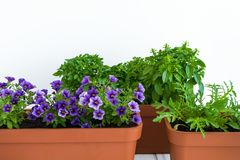 Growing herbs and flowers in planters in a kitchen garden. Flower pots with basil, arugula and flowering million bells plant. Growing herbs and flowers in stock images