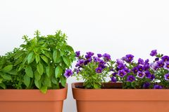 Growing herbs and flowers in planters in a kitchen garden. Flower pots with basil and flowering million bells plant. Growing herbs and flowers in planters in a stock photos