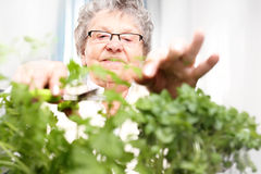 Growing herbs in the home. Stock Photo