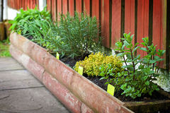 Growing herbs. Growing your own herbs in wooden box Royalty Free Stock Image