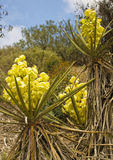 Mojave Yucca Flowers, California Stock Photography