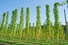 Growing Hop Stock Image