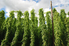 Growing hop Royalty Free Stock Image
