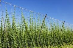 Growing hop crop stock images