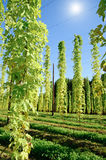 Growing Hop with Sun Royalty Free Stock Images