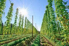 Growing Hop with Sun Stock Photos