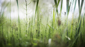 Growing horsetail summer day in the swamp. Flowering herbs Royalty Free Stock Photo
