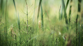 Growing horsetail summer day in the swamp 2. Growing horsetail summer day in the swamp flowering herbs Royalty Free Stock Photography