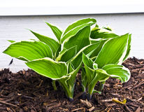 Growing Hosta. A hosta plant cluster of many rhizomes grows in a garden in late spring / early summer Royalty Free Stock Photo