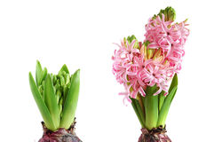 Growing hyacinth Royalty Free Stock Image