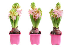 Growing hyacinth Stock Photography