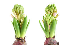 Growing hyacinth Stock Image