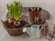 Growing hyacinth Stock Photo