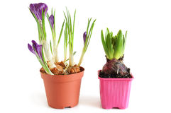 Growing hyacinth and crocuses Royalty Free Stock Photography
