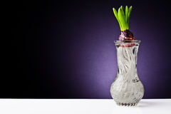 Growing hyacinth flower bulb in pot Royalty Free Stock Photos