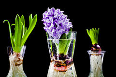 Growing hyacinth flower bulb in pot. Root growth of a bulb in water royalty free stock photo