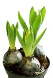Growing hyacinth flower bulb in pot isolated Royalty Free Stock Image