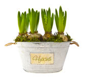 Growing hyacinth flower bulbs in pot royalty free stock image