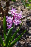 Growing hyacinth flowers  with green leaves. Spring flowers stock images