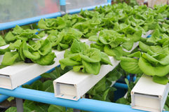 Growing Hydroponic Vegetables Royalty Free Stock Photo