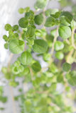 Fresh marjoram Royalty Free Stock Photos