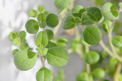 marjoram Royalty Free Stock Photography