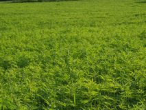 Growing industrial hemp. South Bohemia royalty free stock image
