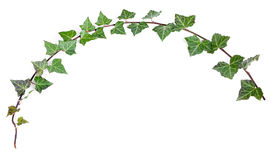 Growing ivy Stock Photography
