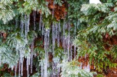 Growing juniper with winter waterfalls in the garden royalty free stock image