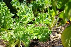 Growing kale in farm garden Royalty Free Stock Photos
