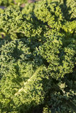 Growing kale Royalty Free Stock Photos