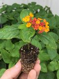 Growing lantana. Growing fully rooted lantana plants in plugs Royalty Free Stock Photos