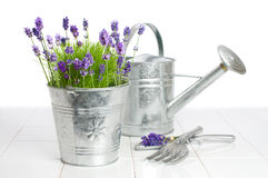 Growing Lavender Royalty Free Stock Photos