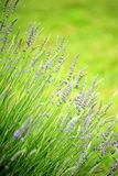 Growing lavender. Closeup angled view of lavender growing in a field, with shallow depth of field stock photography