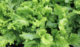 Growing leaves lettuce Royalty Free Stock Photos