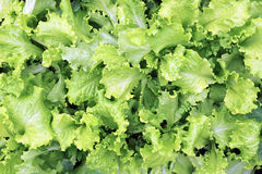 Growing leaves lettuce Stock Image