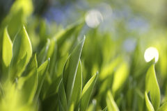 Growing leaves of lilies of the valley Stock Photography