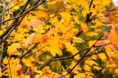 Growing leaves on maple tree in the autumn Royalty Free Stock Photography