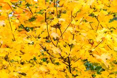 Growing leaves on maple tree in the autumn Royalty Free Stock Photo