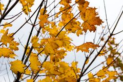 Growing leaves on maple tree in the autumn Stock Photography