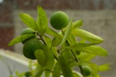 Growing lemons on plant stock images