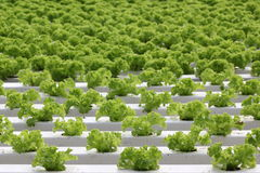 Growing of lettuce Royalty Free Stock Photography