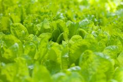 Growing lettuce Royalty Free Stock Photography