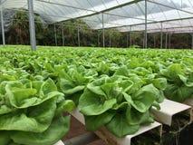 Growing lettuce. Bio farm growing lettuce stock photo
